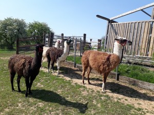 Lamas fertig für den Spaziergang